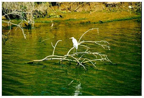 Heron fishing on the  Red River